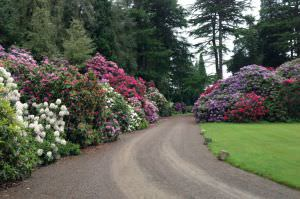 Rhododendron Ponticum - Stokesay Court